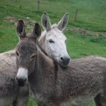Donkeys cuddle